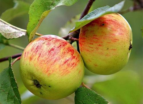 Зрелые яблоки на ветке дерева