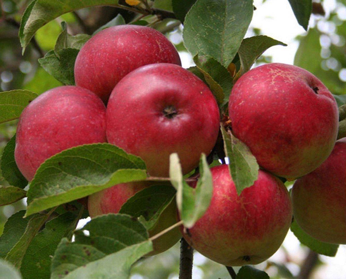 Сорта персика в Краснодарском крае