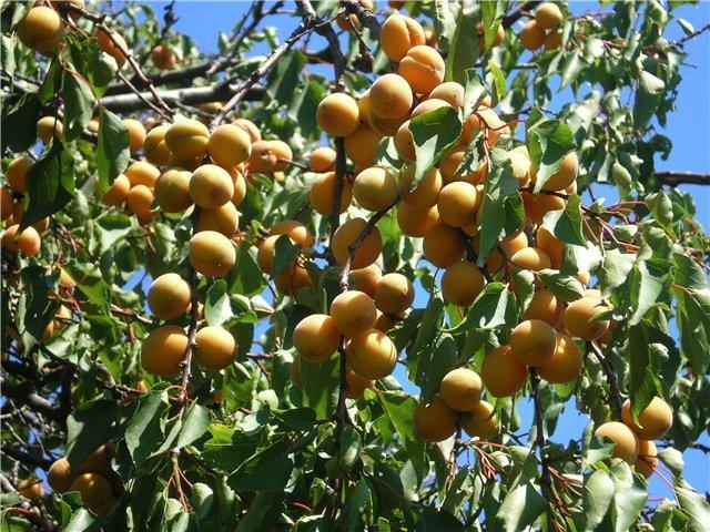 как посадить абрикос весной пошаговое руководство - фото 8