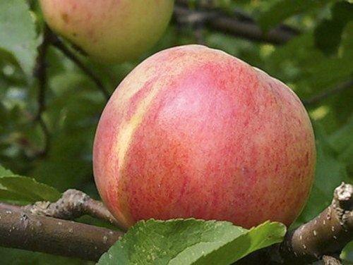 Яблоко Болотовское