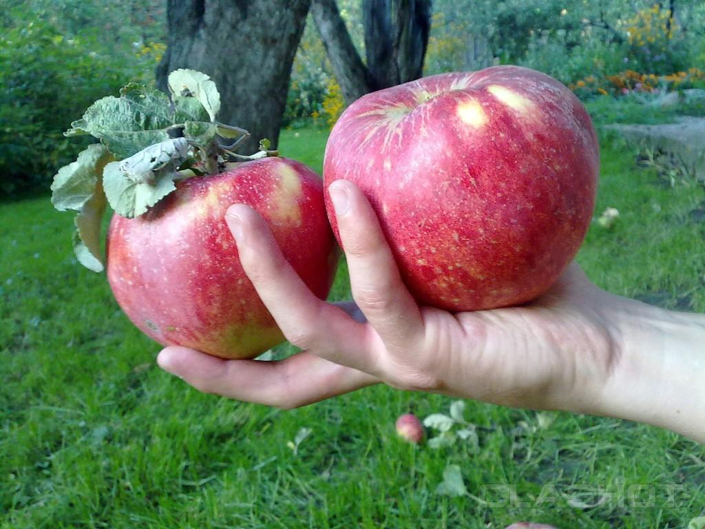 Схема разреза яблока