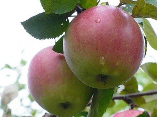 Два яблока на ветке