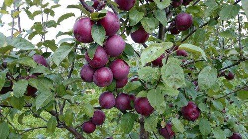 Крона яблони Спартан