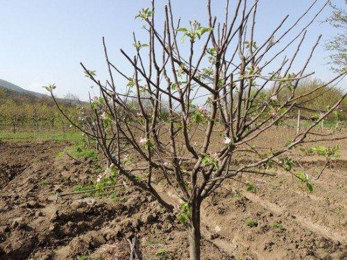 Молодое деревце сорта Болотовское