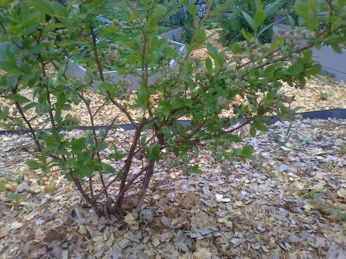 Мульчирование голубики листвой