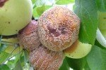Плодовая гниль яблок