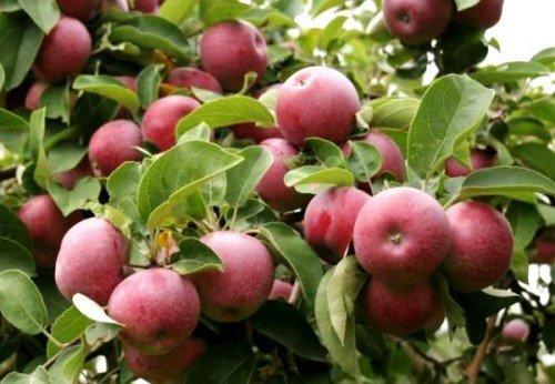 Плоды с листьями на яблоне