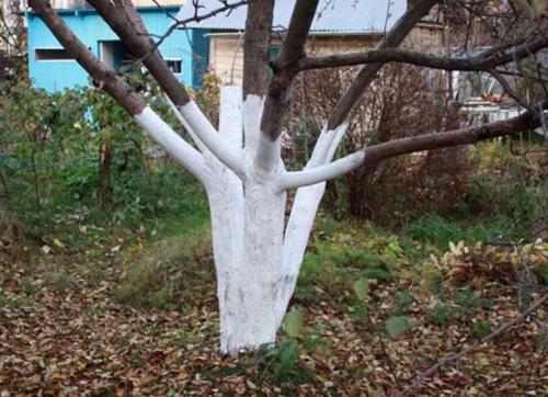 Побелка штамба и скелетных ветвей яблони