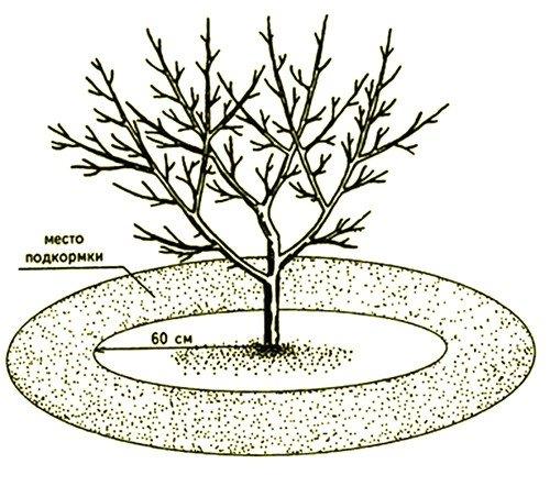 Яблоня синап орловский описание фото отзывы