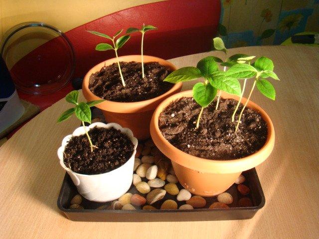 9 полезных свойств абрикоса, отличие от жерделы, польза кураги 54