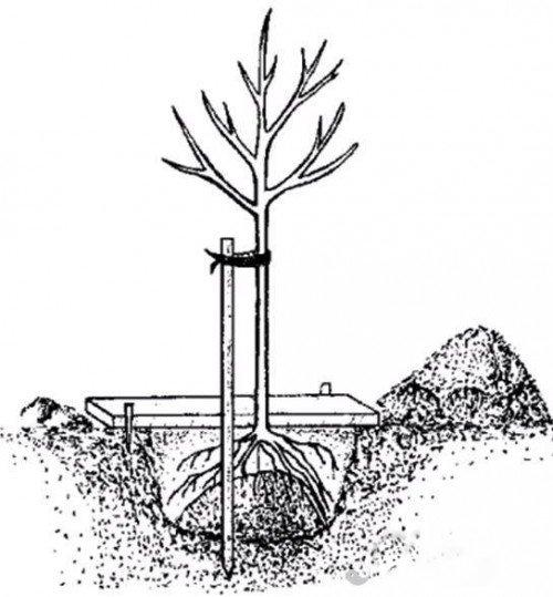 Яблоня северный синап