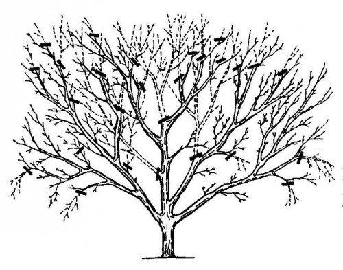 схема обрезки взрослой яблони