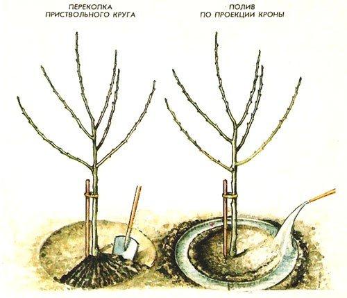 Схема полива саженца яблони