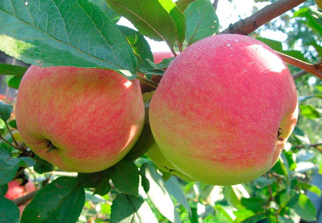 Яблоки, идеальные для приготовления джема — сорт Орловим 72