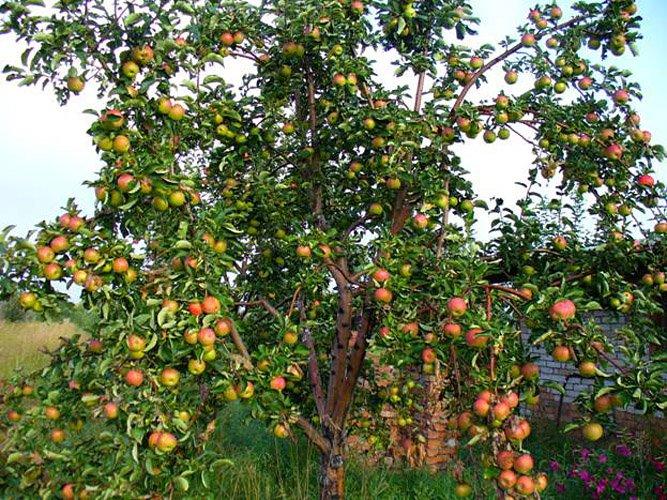 жигулевское сорт яблок описание и фото