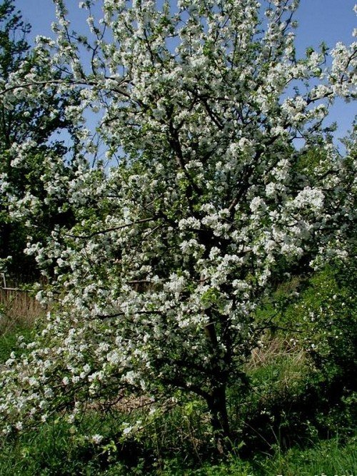 Сорт яблони Жигулёвское