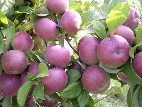 Созревающие яблоки на дереве