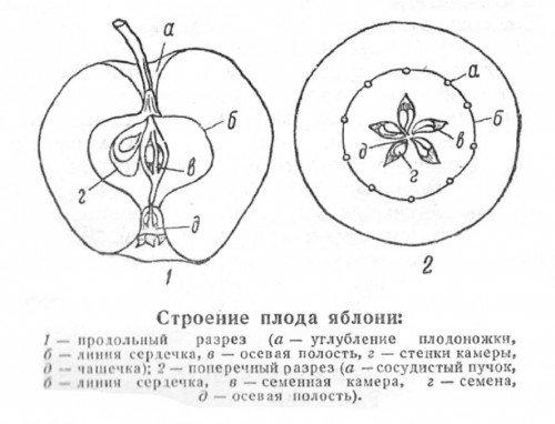 Строение плода яблока в разрезе