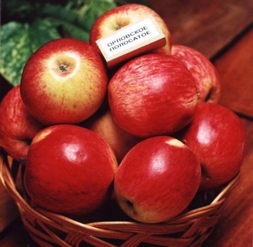 Урожай яблок Орловское полосатое