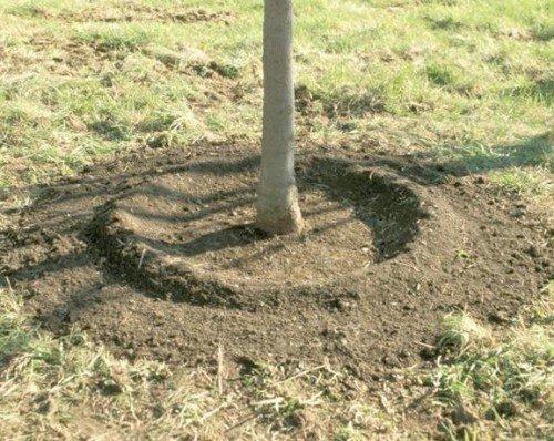 Валик из земли вокруг приствольного круга