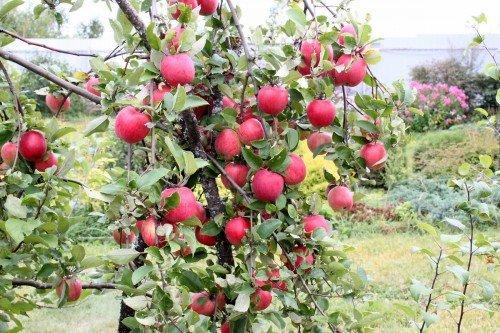 Ветки яблони с плодами
