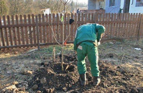 Внесение удобрений в приствольный круг яблони