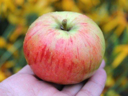Яблоки Орловская заря