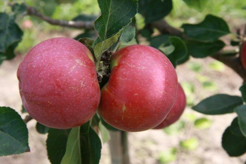 Сорт яблок лобо