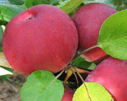 Яблоки Орловская гирлянда