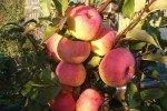 Гроздь созревших яблок