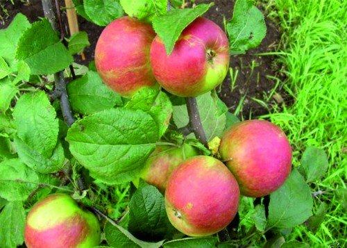 Яблоки Орловское полесье