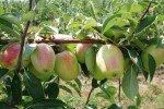 Плодоносящая ветка яблони