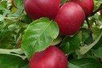 Красно-бордовые яблоки