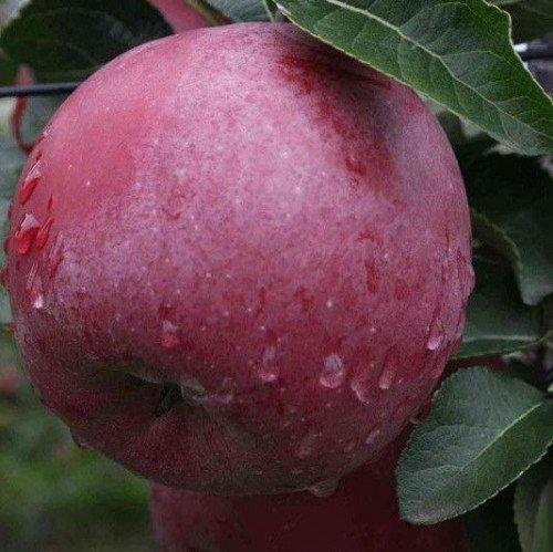Яблоко Спартан тёмно-бордового цвета