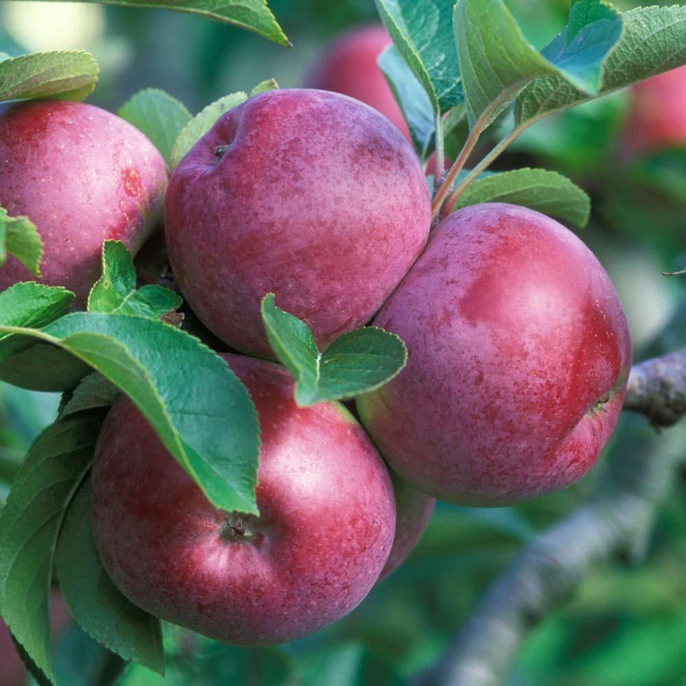 Описание и основные характеристики зимней яблони Строевское