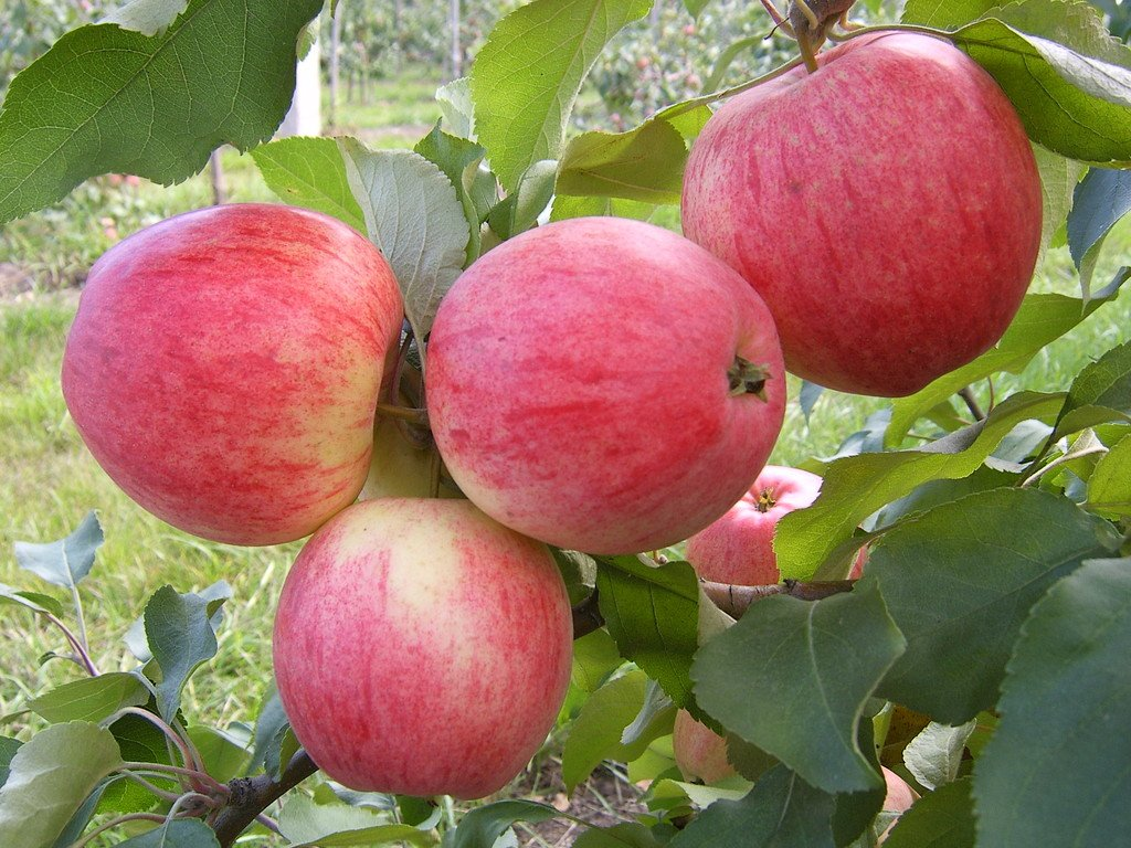 Сорт яблони Солнышко, Фото, отзывы, описание, характеристики сортов, Каталог Сортов