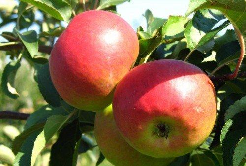 Яблоки Жигулёвское