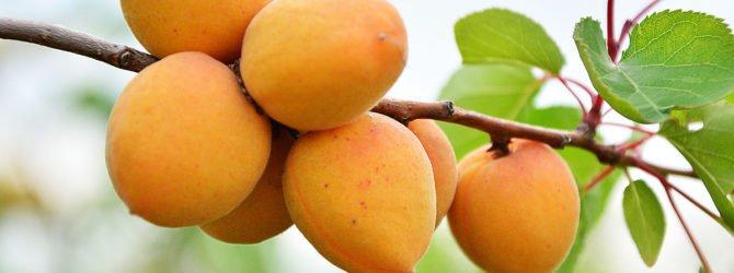 как посадить абрикос весной пошаговое руководство - фото 6