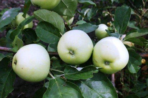 белый налив яблоня видео