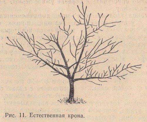 Естественная крона