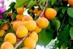 Гирлянда из абрикосовых плодов