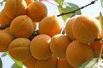 Гроздь спелых абрикосов на дереве