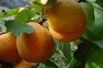 Крупные абрикосы на ветке
