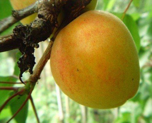 Крупный плод абрикоса