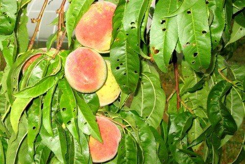 Листья с дырками на персиковом дереве
