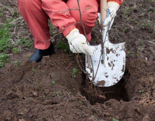Посадка саженца в подготовленную яму