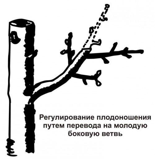 Омоложение персика