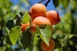 Оранжевые яркие плоды абрикоса