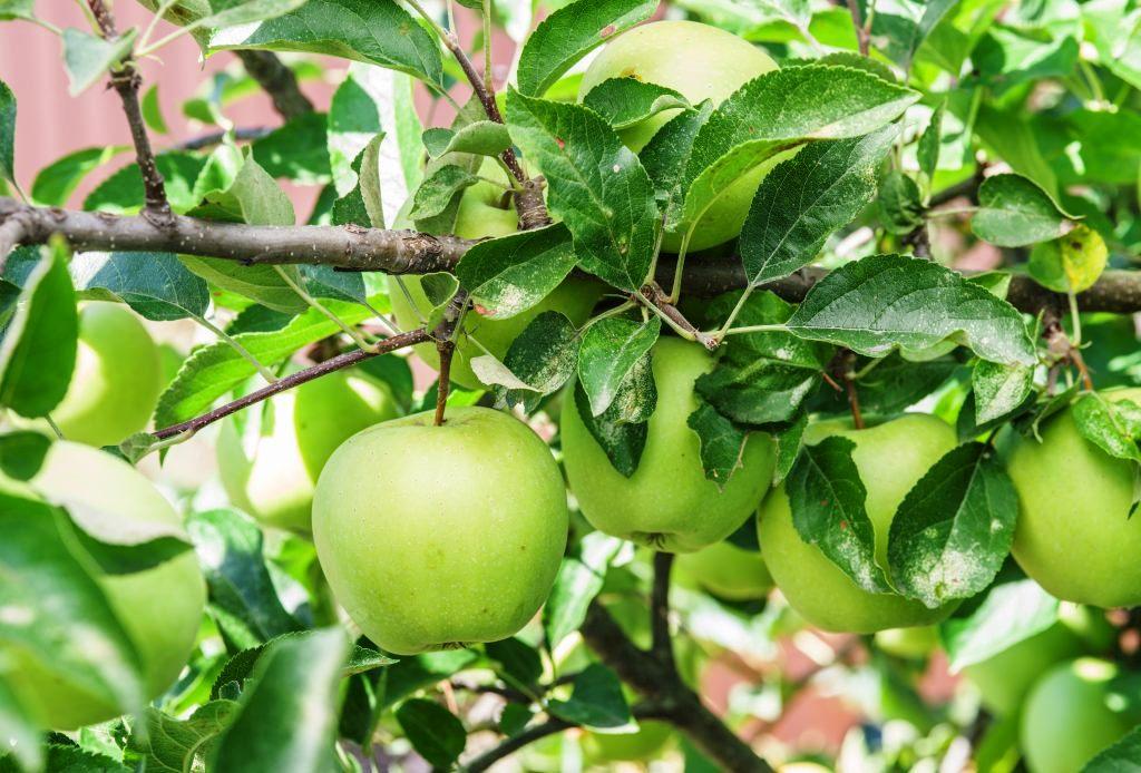 Яблоко кандиль синап