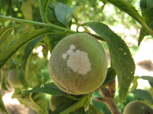 Плод персика с белым налётом